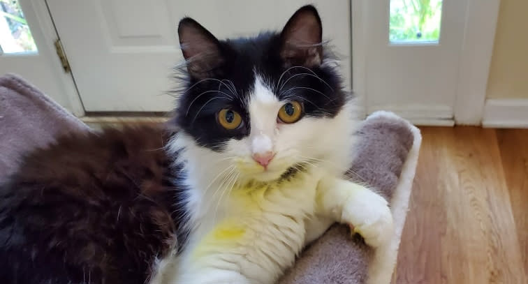 Willow the cat is pictured with yellow pollen stains on her fur.