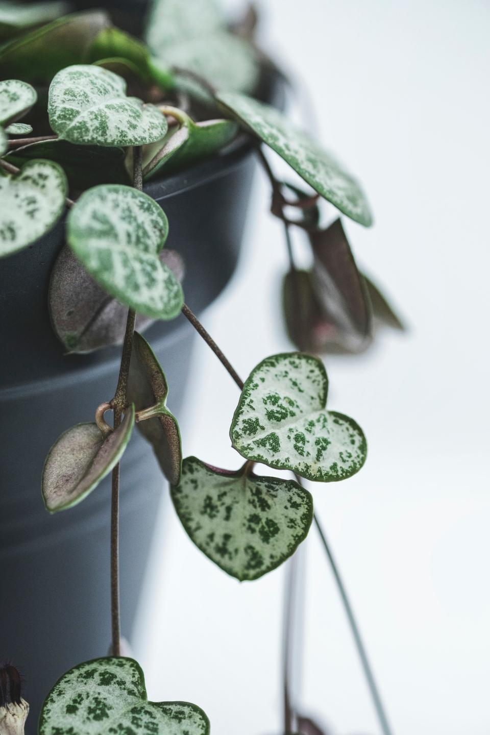 Instagrammed house plants - string of hearts