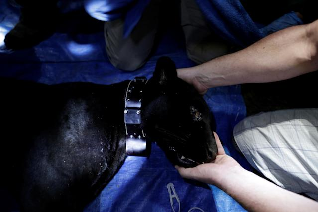 <p>A researcher from the Mamiraua Institute puts a GPS collar on a black male jaguar after capturing him at the Mamiraua Sustainable Development Reserve in Uarini, Amazonas state, Brazil, March 6, 2018. (Photo: Bruno Kelly/Reuters) </p>