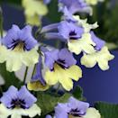 """<p><a class=""""link rapid-noclick-resp"""" href=""""https://go.redirectingat.com?id=127X1599956&url=https%3A%2F%2Fwww.crocus.co.uk%2Fplants%2F_%2Fstreptocarpus-harlequin-blue-pbr%2Fclassid.2000023866%2F&sref=https%3A%2F%2Fwww.goodhousekeeping.com%2Fuk%2Fhouse-and-home%2Fgardening-advice%2Fg29622497%2Fchelsea-flower-show-plant-of-the-year-winners%2F"""" rel=""""nofollow noopener"""" target=""""_blank"""" data-ylk=""""slk:BUY NOW"""">BUY NOW</a> <strong>from £19.99, Crocus</strong></p>"""