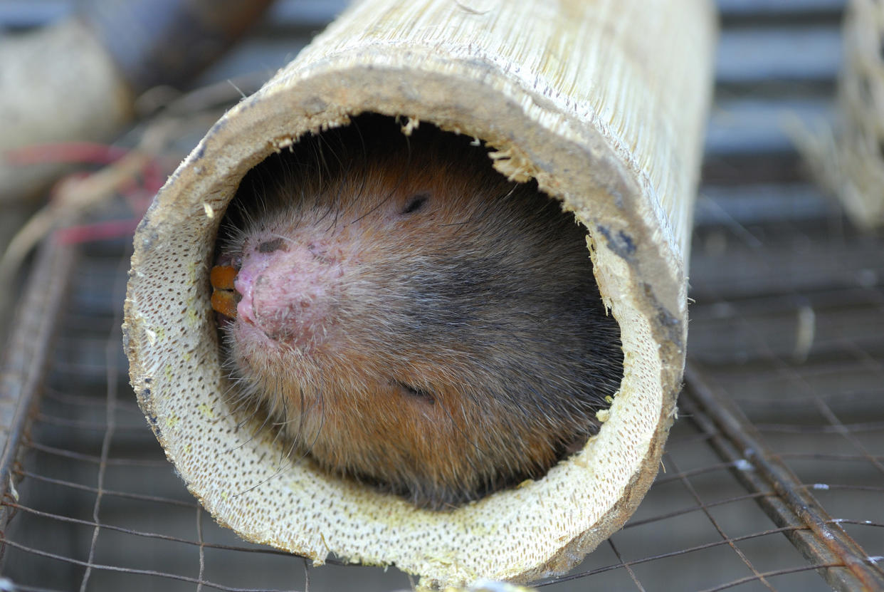Image: A live bamboo rat for sale at a food stall at the evening market in China. (Jerry Redfern / LightRocket via Getty Images file)