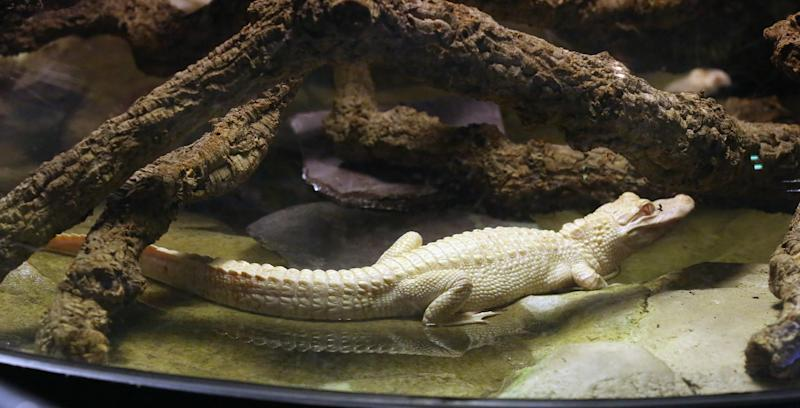 An 18-month old albino alligator is presented at the Tropical aquarium in Paris, Thursday, Feb. 13. 2014. Two albino alligators arrived in their new home in Paris on Wednesday Feb. 12, after travelling thousands of miles from a fish farm in Florida. The aquarium's new lodgers are two of only twenty to thirty in the world, according to the director of the tropical aquarium Michel Hignette. (AP Photo/Remy de la Mauviniere)