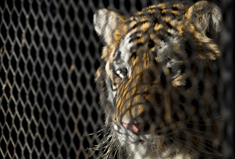 "FILE - In this Feb. 12, 2019, file photo, a tiger that was found in a Southeast Houston residence awaits transport to a rescue facility at the BARC Animal Shelter and Adoptions building in Houston.  Police say a judge has ruled that the north Texas animal shelter is allowed to retain a tiger seized from an east Houston home.  The Cleveland Amory Black Beauty Ranch in Murchison has looked after the tiger ever since marijuana smoking 311 callers found the large cat in an abandoned house. Authorities say the 350 pound (159 kilograms) feline was improperly secured in the cage and could have gone on a ""rampage.""  (Godofredo A. Vasquez/Houston Chronicle via AP, File)"