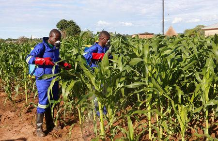 Officials spray maize plants affected by Armyworms in Keembe district, Zambia