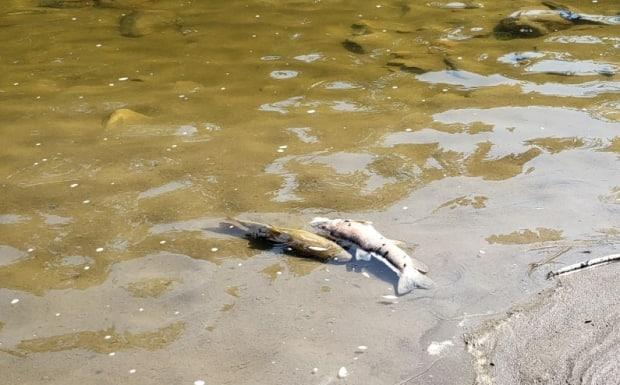 Dead fish floating in Pembina River. The fish died due to the heat wave across Alberta that resulted in low oxygen in rivers and lakes, a provincial scientist says.  (Stephanie Coombs/CBC - image credit)