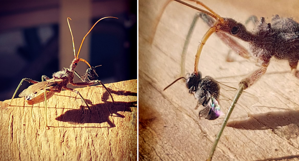 Split screen of a native bee being attacked by an assassin bug.