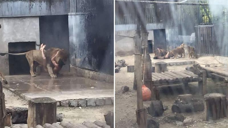 A 20-year-old man broke into the Chilean zoo's lion enclosure, took off his clothes and jumped into the pen. Photo: Twitter