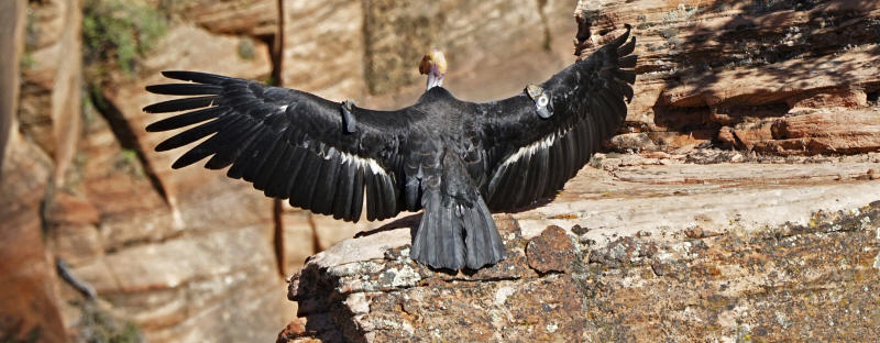 FILE - In this May 13, 2019 file photo provided by the National Park Service is a female condor in Zion National Park, Utah. Seventeen states sued the Trump administration Wednesday, Sept. 25, 2019, to block rules weakening the Endangered Species Act, saying the changes would make it tougher to protect wildlife even in the midst of a global extinction crisis.(National Park Service via AP, File)
