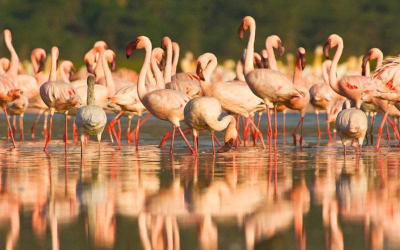 These flamingos evacuating ahead of Hurricane Irma in a single-file line will make your day