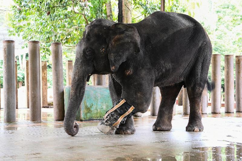 Selendang lost part of its leg after it was caught in a snare trap and has been fitted with a prosthetic limb (AFP Photo/Manan VATSYAYANA)