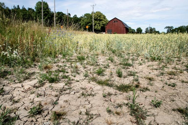 A blighted wheat field in Taby, central Sweden, in July