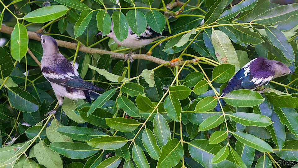 Daurian starlings in Yishun, Singapore in October 2021. (Photo courtesy of Kenneth Cheong)