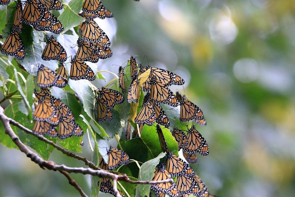 <p><strong>Monarch Butterfly </strong><br><br>The Lone Star State crowned the Danaus Plexippus its state insect in 1995.</p>