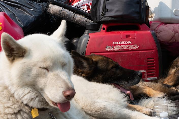 "Juanita Aldana's dogs, Nanook, left, and Thor, rest in an evacuee's truck at a Red Cross evacuation center at Santa Anita Park. <span class=""copyright"">(Gabriella Angotti-Jones / Los Angeles Times)</span>"