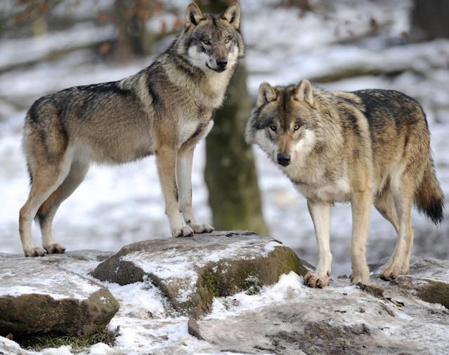 European grey wolves. Photo: Jean-Christophe Verhaegen/AFP/Getty Images