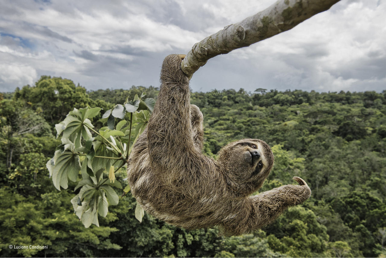 <p>Luciano had to climb the cecropia tree, in the protected Atlantic rainforest of southern Bahia, Brazil, to take an eye-level shot of this three-toed sloth. Sloths like to feed on the leaves of these trees, and so they are often seen high up in the canopy. <br />(Wildlife Photographer of the Year) </p>