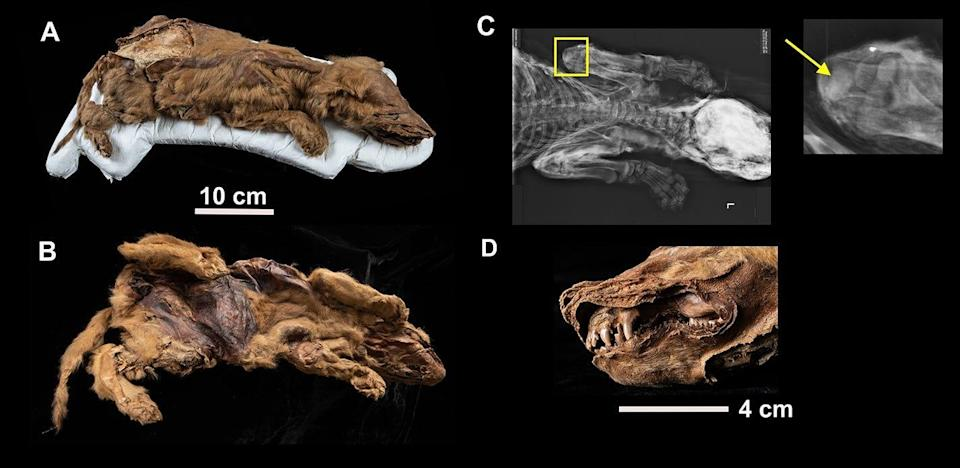 57,000-year-old wolf mummy found frozen in Canada, researchers study ancient pup's life
