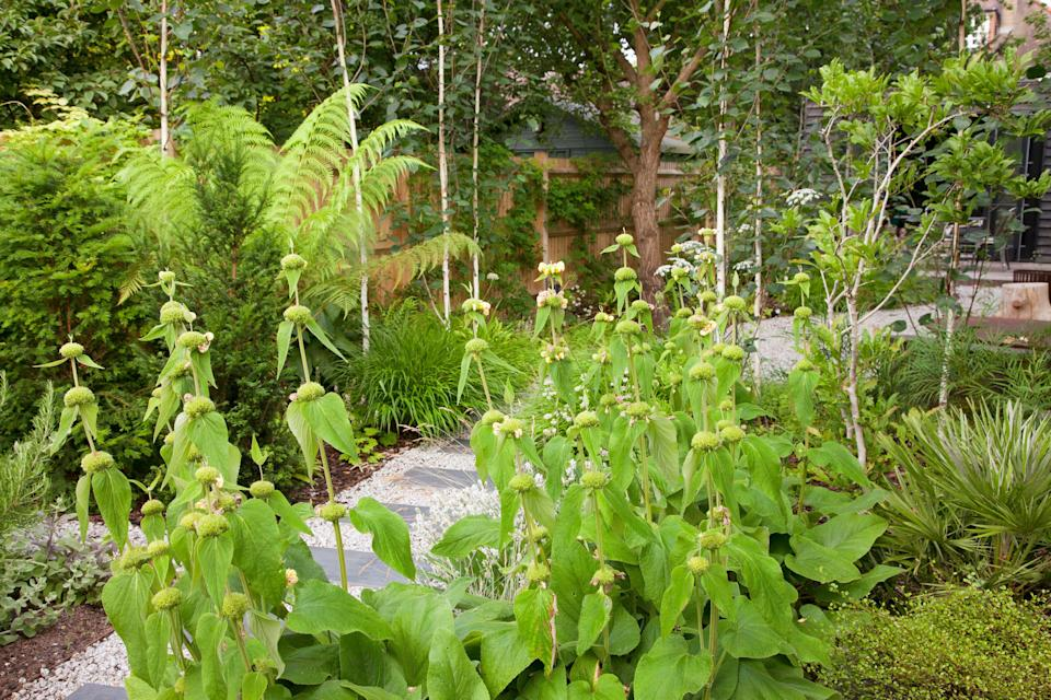 Hardy Jerusalem sage is good at covering ground to stop weeds growing, seen here in a London garden designed by Barbara Samitier