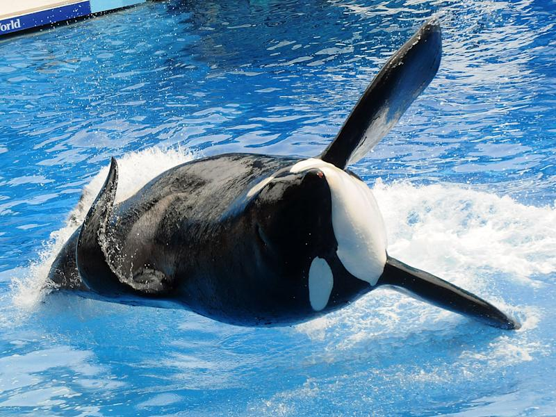 Killer whale 'Tilikum' appears at SeaWorld in 2011 in Orlando, Florida: Getty