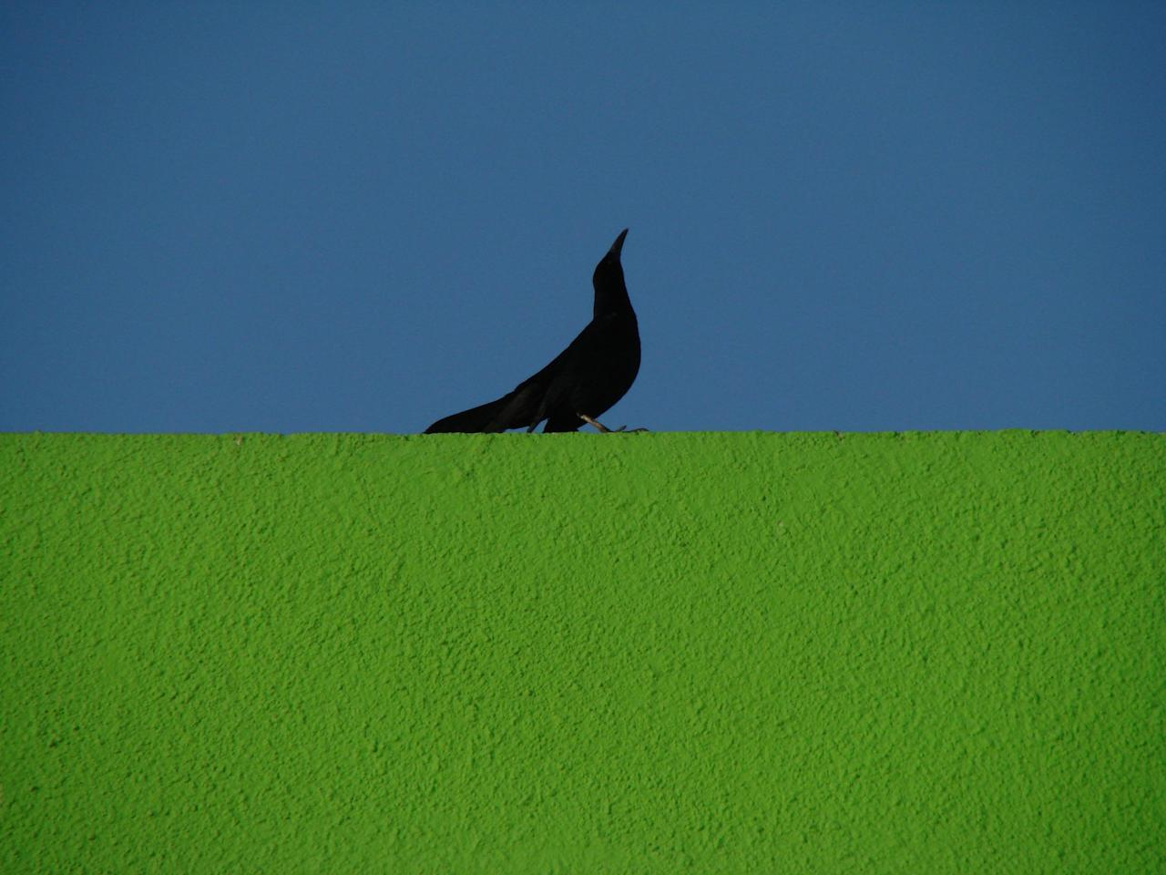 <p>A great-tailed grackle prances along the roof of a green building against the background of a bright blue sky in Mexico. (Marco Zenatello/SWNS) </p>
