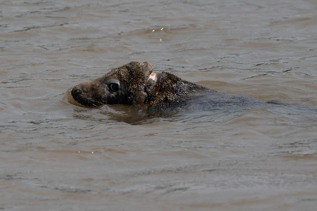 Seal rescued