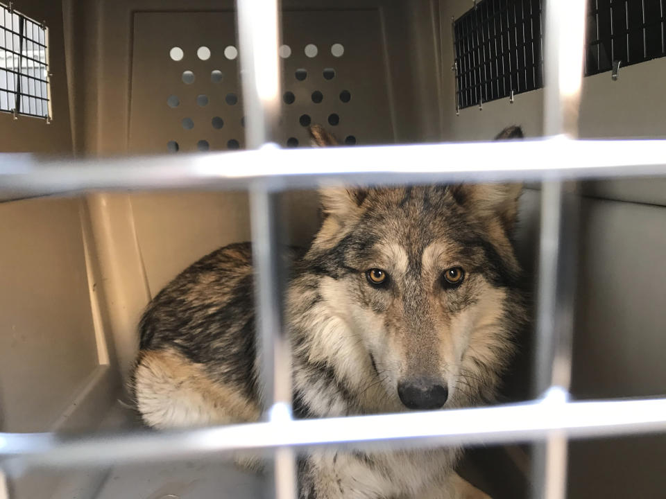 This Jan. 15, 2021 image provided by the ABQ BioPark shows an endangered Mexican gray wolf in a transport crate before leaving the zoo in Albuquerque, N.M., for a trip to Mexico where it and the rest of its pack will eventually be released into the wild. (ABQ BioPark via AP)
