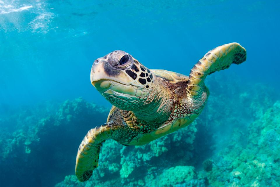 Close up of a green sea turtle swimming under water.