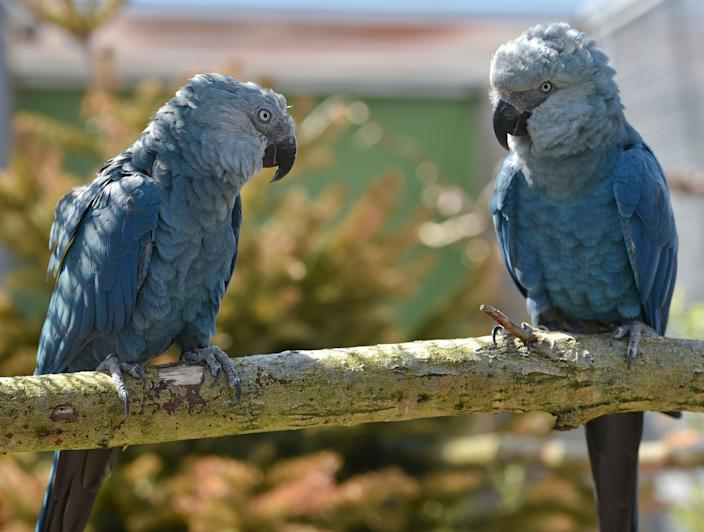 The Spix's macaw, also known as the little blue macaw, is endemic to Brazil and was declared extinct in the wild.