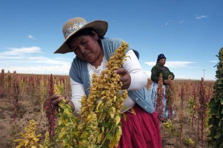 A Bolivian woman inspects a Quinoa plant, a variety of grain cultivated in high altitudes, during a visit to the area by journalists with the Bolivian government, to promote the International Year of Quinoa in Tarmaya