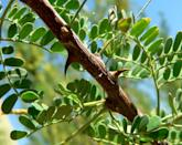 """<p><a href=""""https://www.britannica.com/plant/acacia"""" rel=""""nofollow noopener"""" target=""""_blank"""" data-ylk=""""slk:Acacia trees"""" class=""""link rapid-noclick-resp"""">Acacia trees</a> are often associated with Australia, which makes sense—it takes a tough tree to survive in a tough land. But it's also native to Africa, and rumor has it that in Egypt, the leaves were ground up and used to treat hemorrhoids. </p><p>But its the tree's limbs that hand out the most punishment. These barbarous branches are studded with curved prickles that excel at snagging and not letting go. However, there are other species of Acacia with a less-thorny personality.</p>"""
