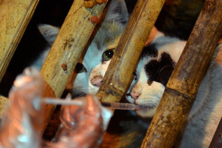 Volunteers feed caged cats on January 17, 2013 after about 600 were rescued following a truck crash in Changsha, China