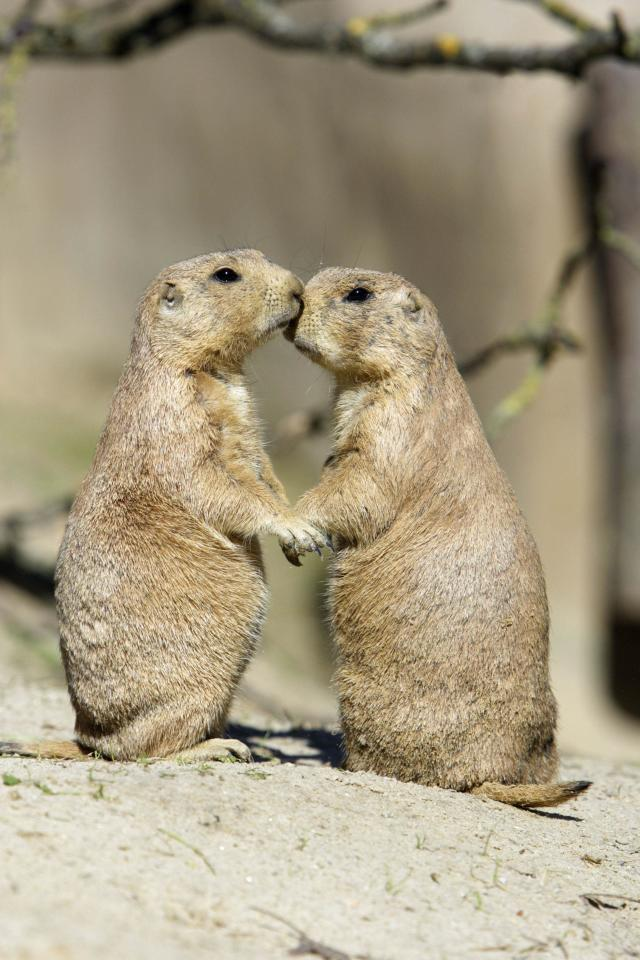 ** MANDATORY BYLINE ** PIC BY DUNCAN USHER / ARDEA / CATERS NEWS - (Pictured TWO AFFECTIONATE PRARIE DOGS) - From a loving look to an affectionate nuzzle, these are the charming images of cute creatures cosying up for Valentines Day. And as the heart-warming pictures show the animal kingdom can be just as romantic as us humans when it comes to celebrating the big day. SEE CATERS COPY.