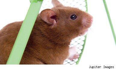 keeping pet rodents
