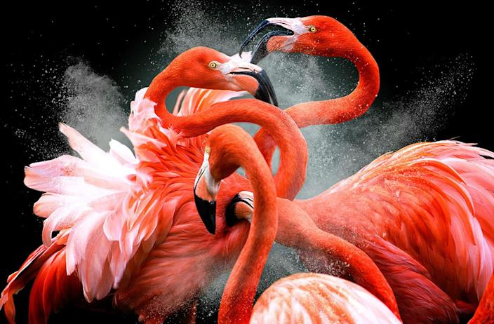 Four flamingos fight with each other. (Photo: Pedro Jarque Krebs/Caters News)