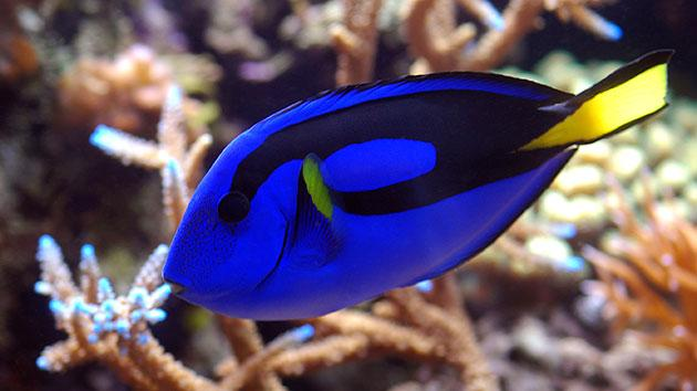 A Dory-like blue tang
