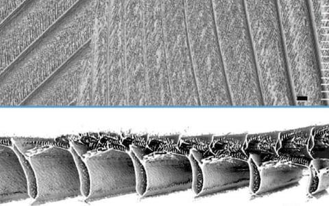 Microscopic analysis revealed the tiny hair like hooks that act like Velcro - Credit: Stanford University