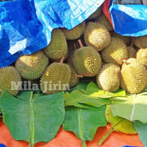 Mila says that she does not profit much from her durian business