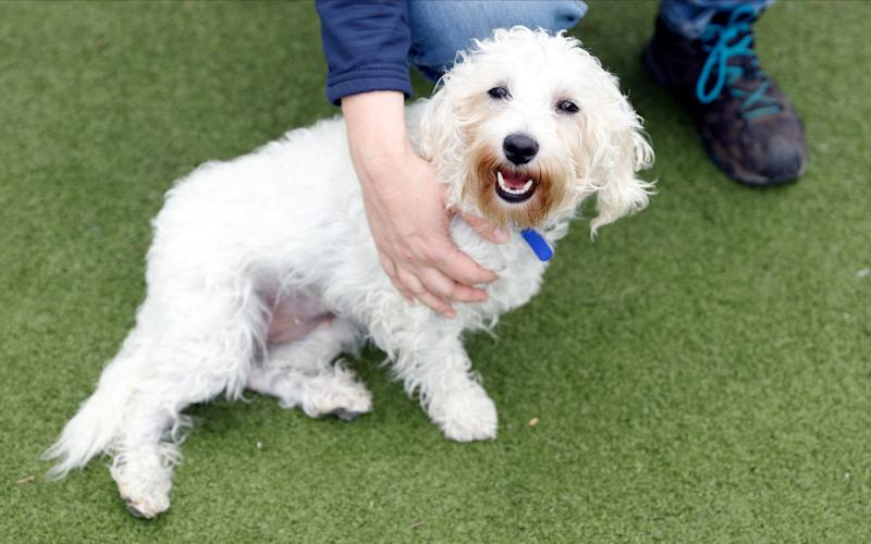Rehoming and Welfare Assistant Marina Elands takes Charlie, a Bichon Frise, for her daily exercise at Battersea Dogs and Cats Home, in London - John Sibley/Reuters