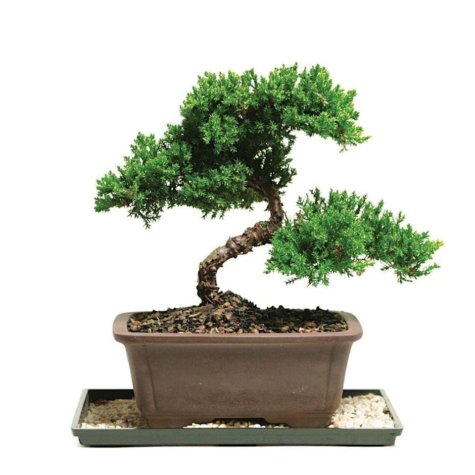 """<p><strong>Brussel's Bonsai</strong></p><p>homedepot.com</p><p><strong>$32.00</strong></p><p><a href=""""https://go.redirectingat.com?id=74968X1596630&url=https%3A%2F%2Fwww.homedepot.com%2Fp%2FBrussel-s-Bonsai-Green-Mound-Juniper-Bonsai-Outdoor-DT-7079GMJ%2F100651255&sref=https%3A%2F%2Fwww.cosmopolitan.com%2Flifestyle%2Fg36877244%2Fbest-plants-for-kitchen%2F"""" rel=""""nofollow noopener"""" target=""""_blank"""" data-ylk=""""slk:Shop Now"""" class=""""link rapid-noclick-resp"""">Shop Now</a></p><p>Not only is a smol bonsai tree a classic that'll elevate any space it's perched on, but <em>this </em>specific one also comes with a container and a humidity tray. </p>"""