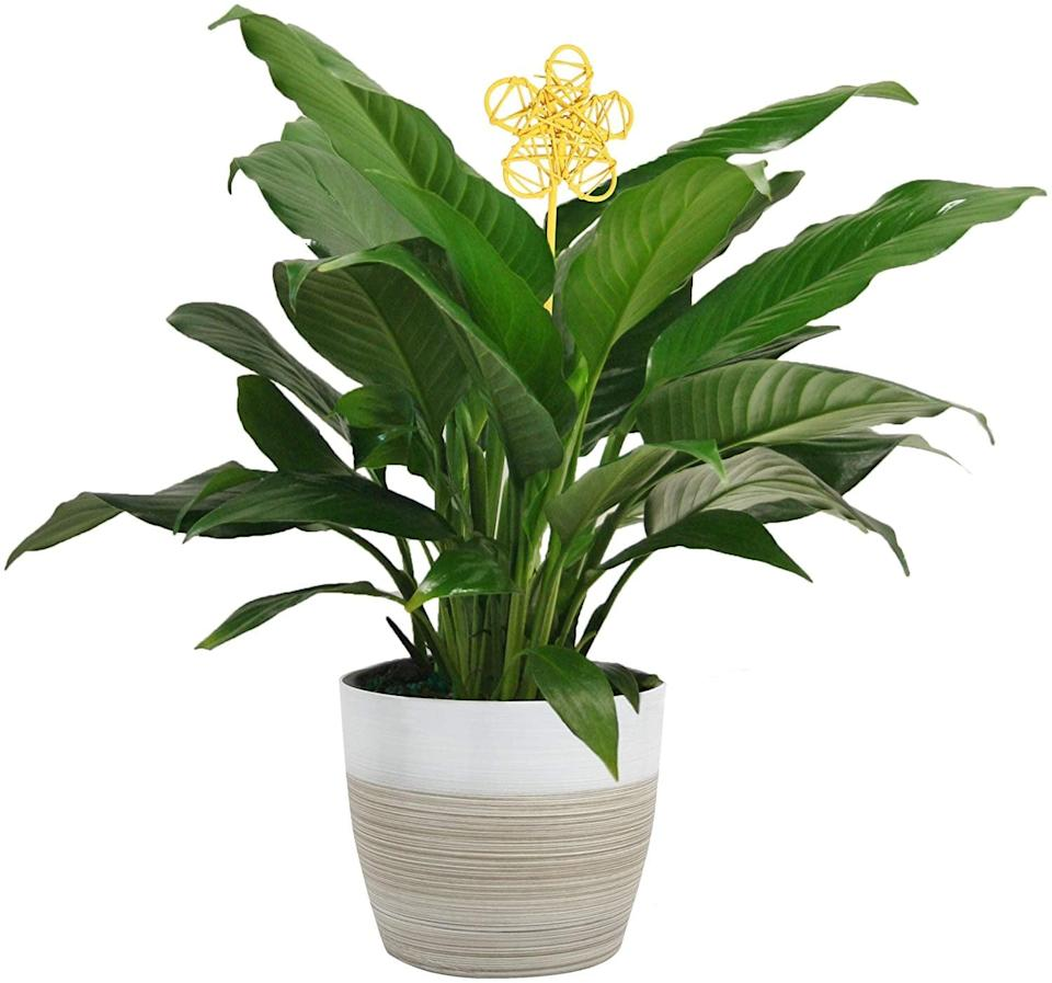 <p>Watching the <span>Costa Farms Spathiphyllum Peace Lily</span> ($30) bloom will be a delight.</p>