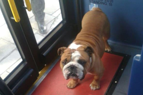 Bulldog travels 2 miles on bus in Brighton without owner