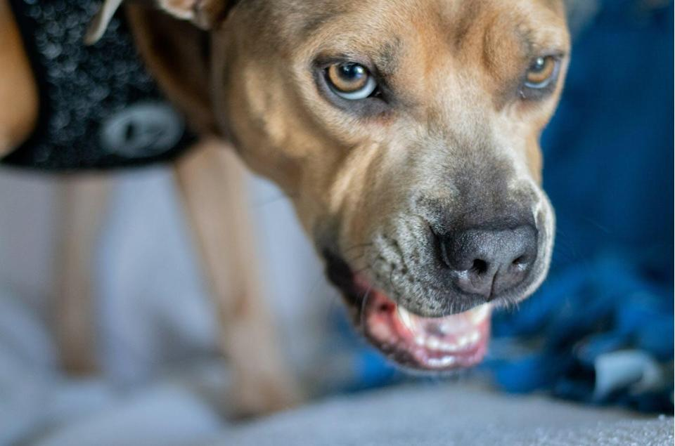 """<span class=""""caption"""">The U.S. currently has no system to differentiate real service dogs from pets.</span> <span class=""""attribution""""><a class=""""link rapid-noclick-resp"""" href=""""https://www.shutterstock.com/image-photo/angry-pitbull-growling-dog-1506315044"""" rel=""""nofollow noopener"""" target=""""_blank"""" data-ylk=""""slk:Cheryl Paz/Shutterstock.com"""">Cheryl Paz/Shutterstock.com</a></span>"""