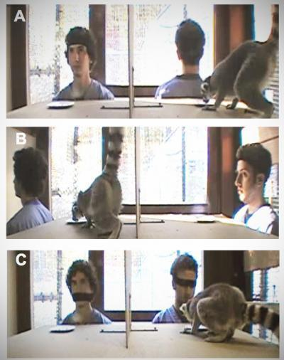 In a series of stills taken from videotaped experiments, Duke undergraduates Joel Bray (left) and Aaron Sandel test a ring-tailed lemur's (Lemur catta) willingness to take food from a watched or unwatched plate.