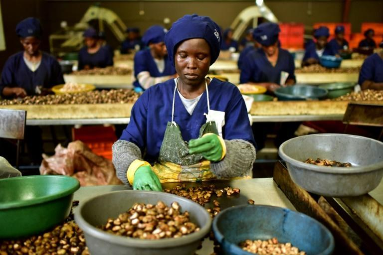 Ivory Coast hopes to move up the value chain by processing more nuts at home