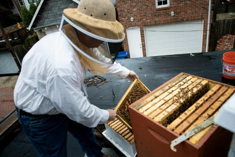 Urban beekeeper Del Voss looks at hives in his apiary above his garage -- he is a member of Washington's Swarm Squad (AFP Photo/Brendan Smialowski)
