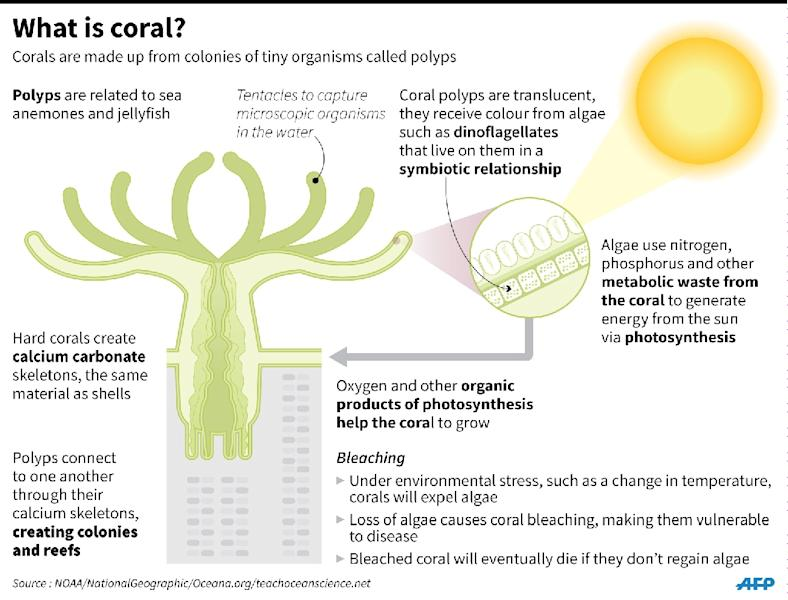 Factfile on corals and coral bleaching (AFP Photo/John SAEKI, Adrian LEUNG)