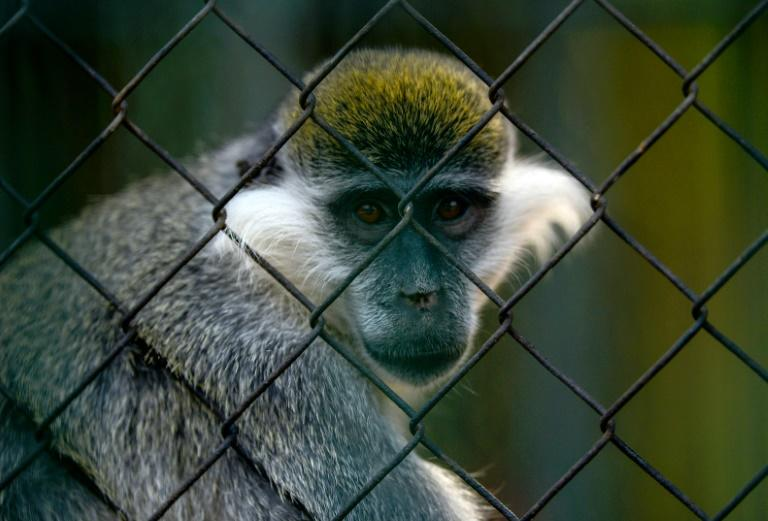 A Grivet monkey looks out from an enclosure at Egypt's Giza Zoo in Cairo