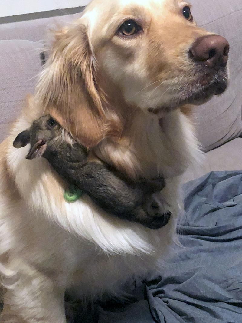 Bowie, the golden retriever, befriended a small possum