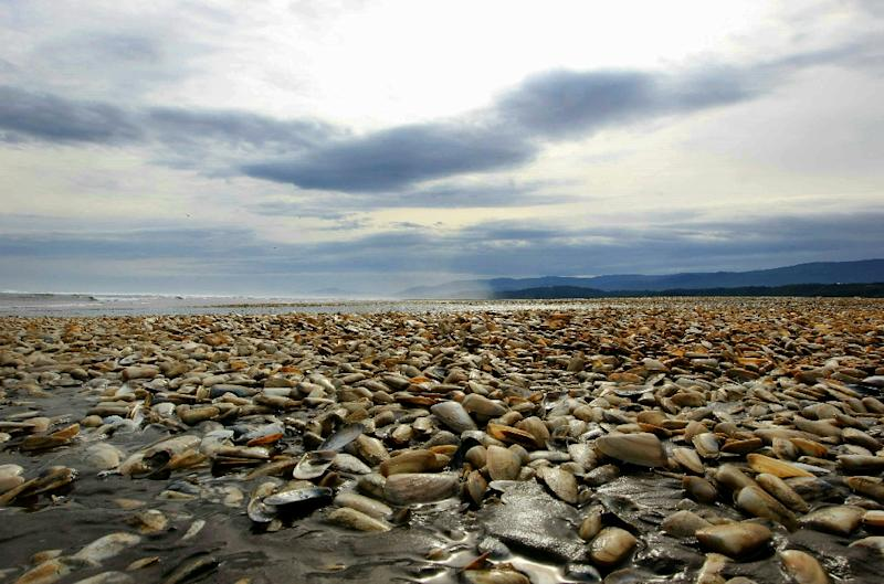 Thousands of dead clams pictured on the shores of Chiloe Island (AFP Photo/Alvaro Vidal)