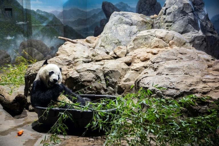 Bei Bei munches bamboo in his enclosure at the National Zoo in the US capital ahead of his long flight to China (AFP Photo/JIM WATSON)